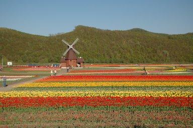 上湧別町チューリップ公園Tulip_field_Kamiyubetsu_Hokkaido_japan.jpg