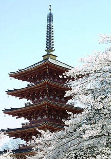 桜と五重塔ssk_28.jpg