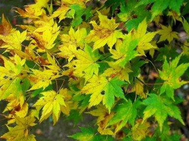 色が変わりかけているカエデの葉.jpg